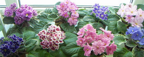 Тольятти,цветы,комнатные растения,выбор,советы психологов,эфирные масла,польза.